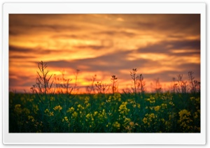 Sunset Sky Over Canola Field HD Wide Wallpaper for Widescreen