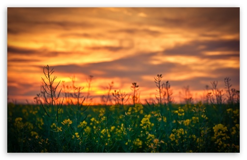 Sunset Sky Over Canola Field HD wallpaper for Wide 16:10 5:3 Widescreen WHXGA WQXGA WUXGA WXGA WGA ; HD 16:9 High Definition WQHD QWXGA 1080p 900p 720p QHD nHD ; Standard 4:3 5:4 3:2 Fullscreen UXGA XGA SVGA QSXGA SXGA DVGA HVGA HQVGA devices ( Apple PowerBook G4 iPhone 4 3G 3GS iPod Touch ) ; Tablet 1:1 ; iPad 1/2/Mini ; Mobile 4:3 5:3 3:2 16:9 5:4 - UXGA XGA SVGA WGA DVGA HVGA HQVGA devices ( Apple PowerBook G4 iPhone 4 3G 3GS iPod Touch ) WQHD QWXGA 1080p 900p 720p QHD nHD QSXGA SXGA ; Dual 16:10 5:3 4:3 5:4 WHXGA WQXGA WUXGA WXGA WGA UXGA XGA SVGA QSXGA SXGA ;