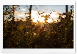 Sunset Through Leafs Ultra HD Wallpaper for 4K UHD Widescreen desktop, tablet & smartphone