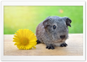 Super Cute Baby Guinea Pig HD Wide Wallpaper for 4K UHD Widescreen desktop & smartphone