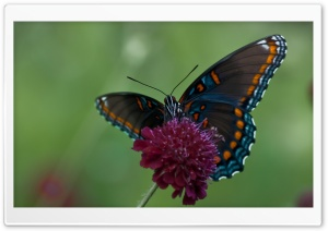 Swallowtail Butterfly HD Wide Wallpaper for Widescreen
