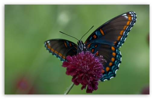 Swallowtail Butterfly HD wallpaper for Standard 4:3 5:4 Fullscreen UXGA XGA SVGA QSXGA SXGA ; Wide 16:10 5:3 Widescreen WHXGA WQXGA WUXGA WXGA WGA ; HD 16:9 High Definition WQHD QWXGA 1080p 900p 720p QHD nHD ; Other 3:2 DVGA HVGA HQVGA devices ( Apple PowerBook G4 iPhone 4 3G 3GS iPod Touch ) ; Mobile VGA WVGA iPhone iPad PSP Phone - VGA QVGA Smartphone ( PocketPC GPS iPod Zune BlackBerry HTC Samsung LG Nokia Eten Asus ) WVGA WQVGA Smartphone ( HTC Samsung Sony Ericsson LG Vertu MIO ) HVGA Smartphone ( Apple iPhone iPod BlackBerry HTC Samsung Nokia ) Sony PSP Zune HD Zen ; Tablet 2 Android 3 DVGA HVGA HQVGA devices ( Apple PowerBook G4 iPhone 4 3G 3GS iPod Touch ) ;
