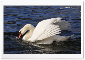 Swan HD Wide Wallpaper for 4K UHD Widescreen desktop & smartphone