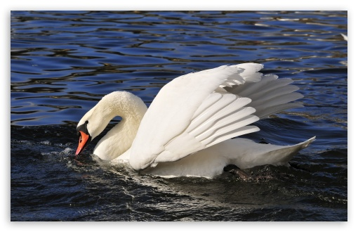 Swan HD wallpaper for Standard 4:3 5:4 Fullscreen UXGA XGA SVGA QSXGA SXGA ; Wide 16:10 5:3 Widescreen WHXGA WQXGA WUXGA WXGA WGA ; HD 16:9 High Definition WQHD QWXGA 1080p 900p 720p QHD nHD ; Other 3:2 DVGA HVGA HQVGA devices ( Apple PowerBook G4 iPhone 4 3G 3GS iPod Touch ) ; Mobile VGA WVGA iPhone iPad PSP Phone - VGA QVGA Smartphone ( PocketPC GPS iPod Zune BlackBerry HTC Samsung LG Nokia Eten Asus ) WVGA WQVGA Smartphone ( HTC Samsung Sony Ericsson LG Vertu MIO ) HVGA Smartphone ( Apple iPhone iPod BlackBerry HTC Samsung Nokia ) Sony PSP Zune HD Zen ;