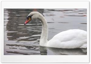 swan Ultra HD Wallpaper for 4K UHD Widescreen desktop, tablet & smartphone