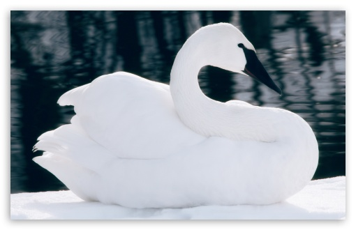 Swan ❤ 4K UHD Wallpaper for Wide 16:10 5:3 Widescreen WHXGA WQXGA WUXGA WXGA WGA ; 4K UHD 16:9 Ultra High Definition 2160p 1440p 1080p 900p 720p ; Standard 4:3 5:4 3:2 Fullscreen UXGA XGA SVGA QSXGA SXGA DVGA HVGA HQVGA ( Apple PowerBook G4 iPhone 4 3G 3GS iPod Touch ) ; Smartphone 16:9 3:2 5:3 2160p 1440p 1080p 900p 720p DVGA HVGA HQVGA ( Apple PowerBook G4 iPhone 4 3G 3GS iPod Touch ) WGA ; Tablet 1:1 ; iPad 1/2/Mini ; Mobile 4:3 5:3 3:2 16:9 5:4 - UXGA XGA SVGA WGA DVGA HVGA HQVGA ( Apple PowerBook G4 iPhone 4 3G 3GS iPod Touch ) 2160p 1440p 1080p 900p 720p QSXGA SXGA ;