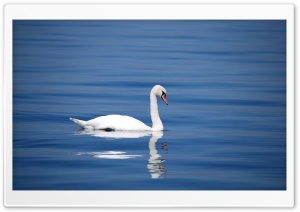 Swan Ultra HD Wallpaper for 4K UHD Widescreen desktop, tablet & smartphone