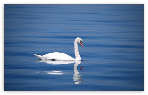 Swan HD wallpaper for Wide 16:10 5:3 Widescreen WHXGA WQXGA WUXGA WXGA WGA ; HD 16:9 High Definition WQHD QWXGA 1080p 900p 720p QHD nHD ; Standard 4:3 5:4 3:2 Fullscreen UXGA XGA SVGA QSXGA SXGA DVGA HVGA HQVGA devices ( Apple PowerBook G4 iPhone 4 3G 3GS iPod Touch ) ; Smartphone 5:3 WGA ; Tablet 1:1 ; iPad 1/2/Mini ; Mobile 4:3 5:3 3:2 16:9 5:4 - UXGA XGA SVGA WGA DVGA HVGA HQVGA devices ( Apple PowerBook G4 iPhone 4 3G 3GS iPod Touch ) WQHD QWXGA 1080p 900p 720p QHD nHD QSXGA SXGA ;
