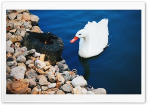 Swan HD Wide Wallpaper for Widescreen