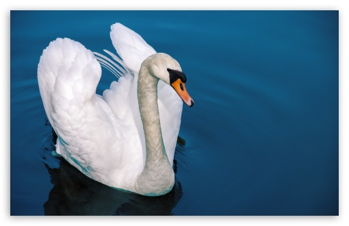 Swan ❤ 4K UHD Wallpaper for Wide 16:10 5:3 Widescreen WHXGA WQXGA WUXGA WXGA WGA ; 4K UHD 16:9 Ultra High Definition 2160p 1440p 1080p 900p 720p ; UHD 16:9 2160p 1440p 1080p 900p 720p ; Standard 4:3 5:4 3:2 Fullscreen UXGA XGA SVGA QSXGA SXGA DVGA HVGA HQVGA ( Apple PowerBook G4 iPhone 4 3G 3GS iPod Touch ) ; Tablet 1:1 ; iPad 1/2/Mini ; Mobile 4:3 5:3 3:2 16:9 5:4 - UXGA XGA SVGA WGA DVGA HVGA HQVGA ( Apple PowerBook G4 iPhone 4 3G 3GS iPod Touch ) 2160p 1440p 1080p 900p 720p QSXGA SXGA ;
