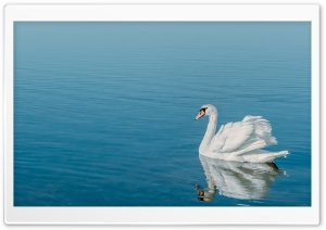 Swan Bird HD Wide Wallpaper for Widescreen