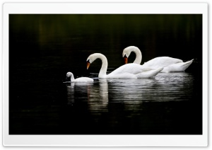 Swan Family HD Wide Wallpaper for Widescreen