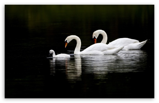 Swan Family HD wallpaper for Wide 16:10 5:3 Widescreen WHXGA WQXGA WUXGA WXGA WGA ; HD 16:9 High Definition WQHD QWXGA 1080p 900p 720p QHD nHD ; Standard 4:3 5:4 3:2 Fullscreen UXGA XGA SVGA QSXGA SXGA DVGA HVGA HQVGA devices ( Apple PowerBook G4 iPhone 4 3G 3GS iPod Touch ) ; iPad 1/2/Mini ; Mobile 4:3 5:3 3:2 16:9 5:4 - UXGA XGA SVGA WGA DVGA HVGA HQVGA devices ( Apple PowerBook G4 iPhone 4 3G 3GS iPod Touch ) WQHD QWXGA 1080p 900p 720p QHD nHD QSXGA SXGA ;