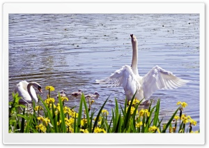 Swan Family, Spring HD Wide Wallpaper for Widescreen