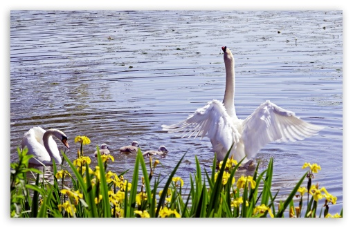 Swan Family, Spring HD wallpaper for Wide 16:10 5:3 Widescreen WHXGA WQXGA WUXGA WXGA WGA ; HD 16:9 High Definition WQHD QWXGA 1080p 900p 720p QHD nHD ; Standard 3:2 Fullscreen DVGA HVGA HQVGA devices ( Apple PowerBook G4 iPhone 4 3G 3GS iPod Touch ) ; Tablet 1:1 ; Mobile 5:3 3:2 16:9 - WGA DVGA HVGA HQVGA devices ( Apple PowerBook G4 iPhone 4 3G 3GS iPod Touch ) WQHD QWXGA 1080p 900p 720p QHD nHD ;