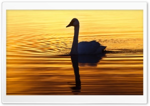 Swan in the Morning Light HD Wide Wallpaper for Widescreen