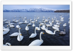 Swan Lake HD Wide Wallpaper for Widescreen