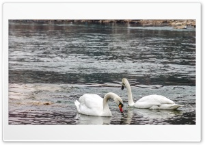 swans Ultra HD Wallpaper for 4K UHD Widescreen desktop, tablet & smartphone