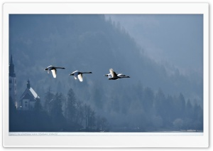 Swans Flying Over Lake Bled by Plastique aka Vladimir Odorcic HD Wide Wallpaper for 4K UHD Widescreen desktop & smartphone
