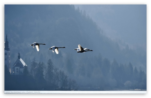 Swans Flying Over Lake Bled by Plastique aka Vladimir Odorcic HD wallpaper for Wide 16:10 5:3 Widescreen WHXGA WQXGA WUXGA WXGA WGA ; HD 16:9 High Definition WQHD QWXGA 1080p 900p 720p QHD nHD ; Standard 4:3 5:4 3:2 Fullscreen UXGA XGA SVGA QSXGA SXGA DVGA HVGA HQVGA devices ( Apple PowerBook G4 iPhone 4 3G 3GS iPod Touch ) ; Tablet 1:1 ; iPad 1/2/Mini ; Mobile 4:3 5:3 3:2 16:9 5:4 - UXGA XGA SVGA WGA DVGA HVGA HQVGA devices ( Apple PowerBook G4 iPhone 4 3G 3GS iPod Touch ) WQHD QWXGA 1080p 900p 720p QHD nHD QSXGA SXGA ; Dual 4:3 5:4 UXGA XGA SVGA QSXGA SXGA ;