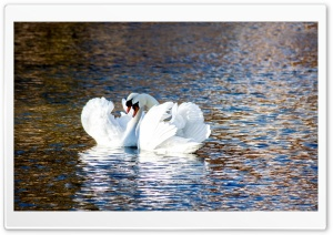 Swans Love HD Wide Wallpaper for Widescreen
