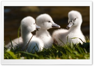 Sweet Baby Swans HD Wide Wallpaper for Widescreen