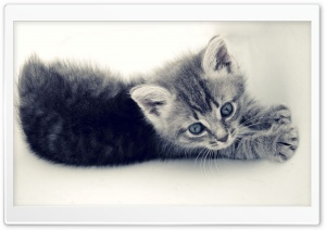 Sweet Kitten HD Wide Wallpaper for Widescreen