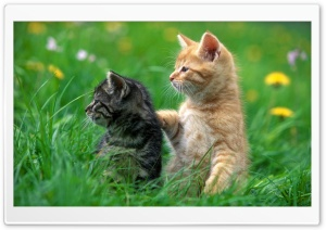 Sweet Kittens HD Wide Wallpaper for Widescreen