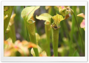Sweet Pitcher Plant HD Wide Wallpaper for 4K UHD Widescreen desktop & smartphone