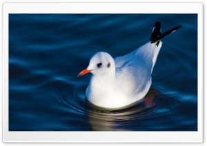 Swimming Black Headed Gull Ultra HD Wallpaper for 4K UHD Widescreen desktop, tablet & smartphone