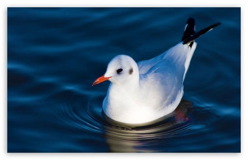 Swimming Black Headed Gull HD wallpaper for Wide 16:10 5:3 Widescreen WHXGA WQXGA WUXGA WXGA WGA ; HD 16:9 High Definition WQHD QWXGA 1080p 900p 720p QHD nHD ; Standard 4:3 5:4 3:2 Fullscreen UXGA XGA SVGA QSXGA SXGA DVGA HVGA HQVGA devices ( Apple PowerBook G4 iPhone 4 3G 3GS iPod Touch ) ; Tablet 1:1 ; iPad 1/2/Mini ; Mobile 4:3 5:3 3:2 16:9 5:4 - UXGA XGA SVGA WGA DVGA HVGA HQVGA devices ( Apple PowerBook G4 iPhone 4 3G 3GS iPod Touch ) WQHD QWXGA 1080p 900p 720p QHD nHD QSXGA SXGA ;