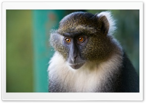 Sykes Monkey Mount Kenya National Park Kenya HD Wide Wallpaper for Widescreen