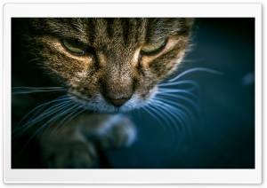 Tabby Cat HD Wide Wallpaper for Widescreen