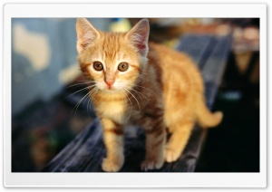 Tabby Kitten HD Wide Wallpaper for Widescreen