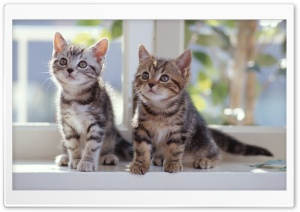 Tabby Kittens HD Wide Wallpaper for 4K UHD Widescreen desktop & smartphone
