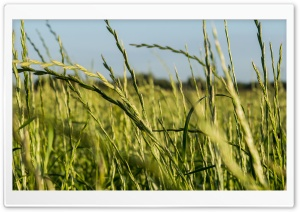 Tall Grass HD Wide Wallpaper for Widescreen