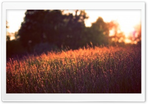 Tall Grass, Sunset HD Wide Wallpaper for Widescreen