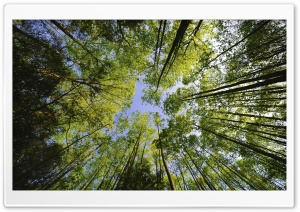 Tall Trees, Forest HD Wide Wallpaper for Widescreen