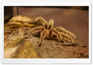 Tarantula HD Wide Wallpaper for Widescreen