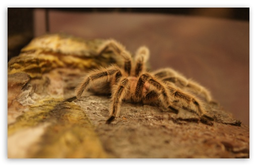 Tarantula ❤ 4K UHD Wallpaper for Wide 16:10 5:3 Widescreen WHXGA WQXGA WUXGA WXGA WGA ; 4K UHD 16:9 Ultra High Definition 2160p 1440p 1080p 900p 720p ; UHD 16:9 2160p 1440p 1080p 900p 720p ; Standard 4:3 5:4 3:2 Fullscreen UXGA XGA SVGA QSXGA SXGA DVGA HVGA HQVGA ( Apple PowerBook G4 iPhone 4 3G 3GS iPod Touch ) ; Tablet 1:1 ; iPad 1/2/Mini ; Mobile 4:3 5:3 3:2 16:9 5:4 - UXGA XGA SVGA WGA DVGA HVGA HQVGA ( Apple PowerBook G4 iPhone 4 3G 3GS iPod Touch ) 2160p 1440p 1080p 900p 720p QSXGA SXGA ; Dual 4:3 5:4 UXGA XGA SVGA QSXGA SXGA ;