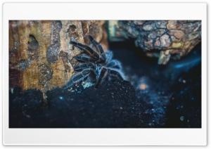 tarantula Ultra HD Wallpaper for 4K UHD Widescreen desktop, tablet & smartphone