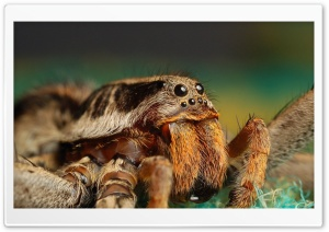 Tarantula Spider HD Wide Wallpaper for Widescreen