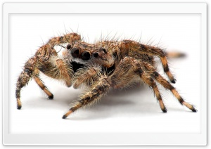 Tarantula Spider Close Up HD Wide Wallpaper for 4K UHD Widescreen desktop & smartphone