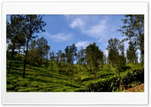 Tea Estate HD Wide Wallpaper for 4K UHD Widescreen desktop & smartphone