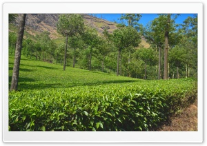 Tea Estate HD Wide Wallpaper for Widescreen