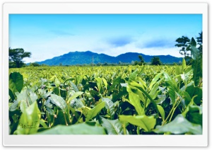 Tea Estate and Mountain HD Wide Wallpaper for Widescreen