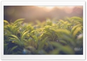 Tea Garden HD Wide Wallpaper for Widescreen