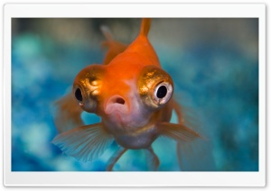 Telescope Goldfish HD Wide Wallpaper for Widescreen