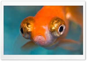 Telescope Goldfish Aquarium HD Wide Wallpaper for Widescreen