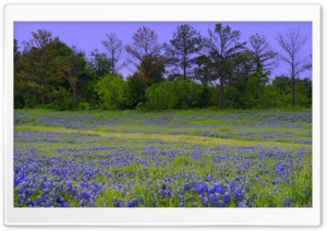 Texas Bluebonnet Field HD Wide Wallpaper for Widescreen
